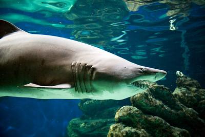 Shark, Zoomarine park, town of Albufeira, district of Faro, region of Algarve, Portugal