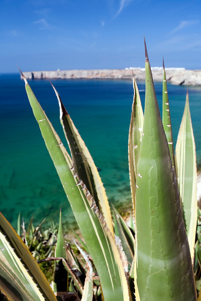 Close-up view of a pita or agave plant with Mareta beach and bay on the background. Town of Sagres, municipality of Vila do Bispo, district of Faro, region of Algarve, southwestern Portugal