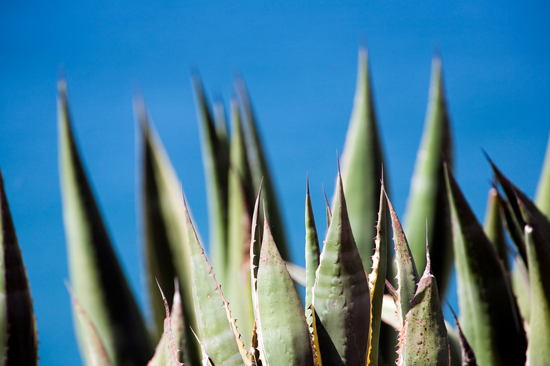 Agave, pita or century plant. Town of Sagres, municipality of Vila do Bispo, district of Faro, region of Algarve, southwestern Portugal