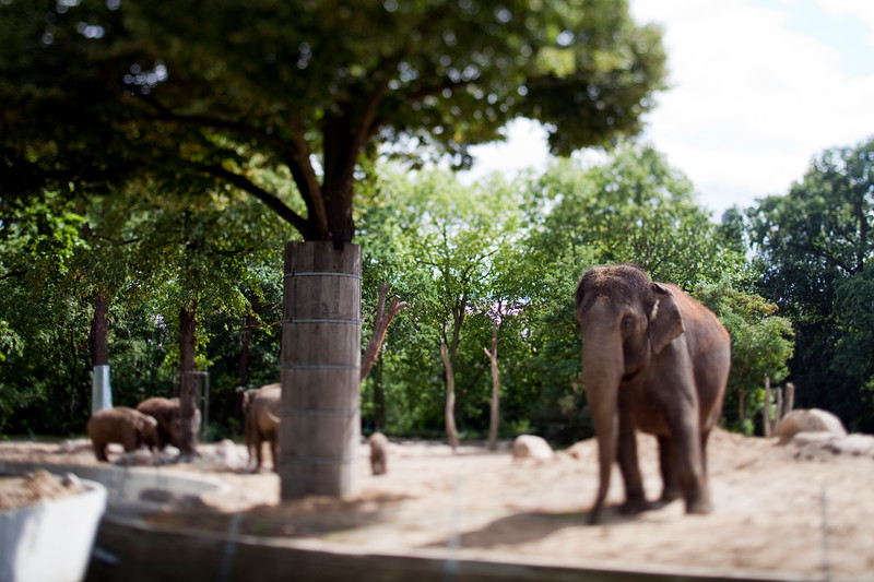 Asian elephants on Berlin zoo, Germany. Tilted lens used for shallow depth of field.