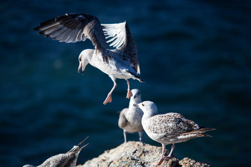 Seagulls, Quiberon, Brittany, France