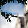 Close-up of leaves, New Square, Trinity College, Dublin, Ireland