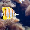 Beaked coralfish, Lisbon Oceanario