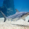 Shark, Lisbon oceanario