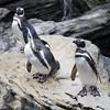 Magellanic Penguin, Lisbon oceanario