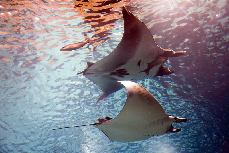 Couple of giant manta rays, Lisbon Oceanario