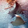 Couple of giant manta rays, Lisbon Oceanario
