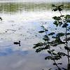 Idyllic image of a duck on Sognsvann lake, Oslo.
