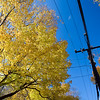 A yellow maple and a post and power line in the fall, Connecticut, USA