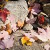 Maple tree dead leaves over stones, CT, USA