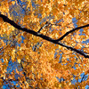 Maple tree in the fall, USA