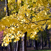 Yellow leaves of a maple tree in the fall, Connecticut, USA