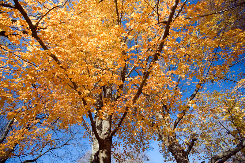 Maple tree in the fall, CT, USA