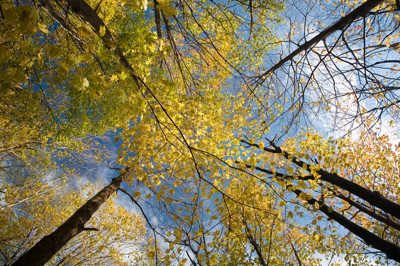 Maple trees in the fall from a low angle view, USA.