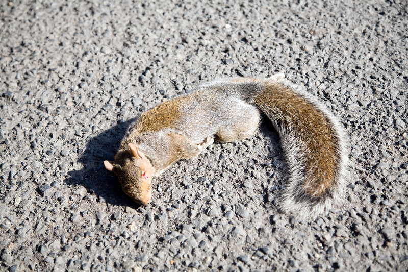Squirrel run over on a Connecticut road, USA