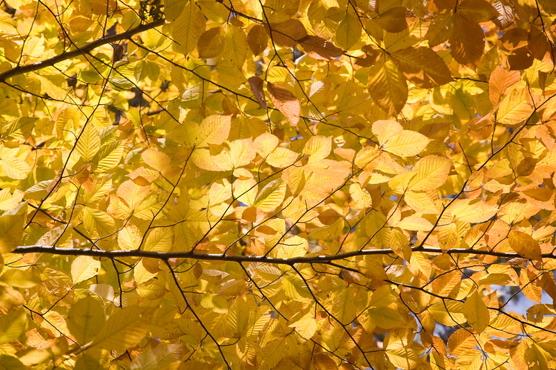 Yellow leaves of an elm tree in the fall