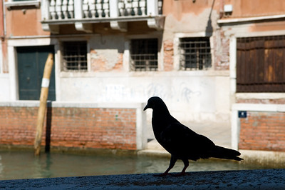 Pigeon, Venice, Italy