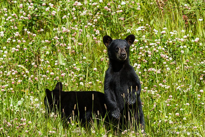 Twin black bear cubs in field of wildflowers