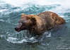 Large male brown bear dripping wet in river