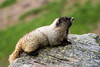 Marmot sitting on a rock with narrow depth of field