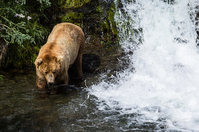 Large male grizzly walking near river and waterfall