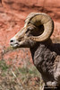 Rocky Mountain Bighorn in fron of red rock in Colorado