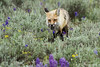 Red fox with vole walking through field of sage and wildflowers