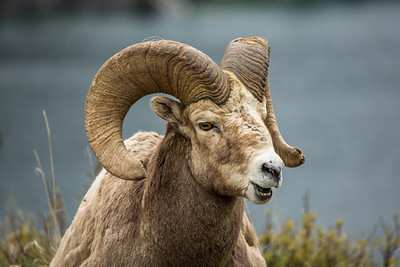 Large ram bighorn sheep mountain goat laying in the grass with mouth open on gray background.