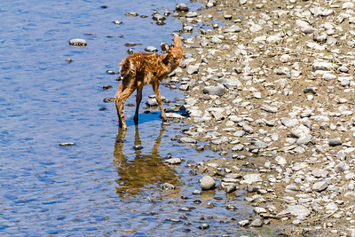 Newborn Fawn on rocky river shore
