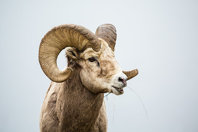 Large bighorn ram with full curl horns chewing grass with mouth open.