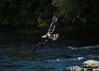 Juvenile bald eagle flying over river