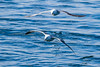 Two Albatross flying low, one drags his wing through the crest of an ocean wave