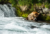 Large grizzly bear eating fish in river