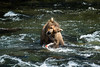 Grizzly bear shaking off after catching salmon
