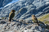 Two Kea on a rock near Cascade Saddle in Mt. Aspiring National Park