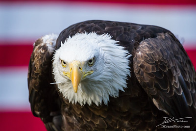 Bald Eagle in front of American Flag looking to camera