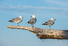 Three Seagulls standing on a driftwood log on the coast of New Zealand