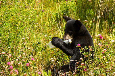Black bear cub chewing on trash plastic bottle