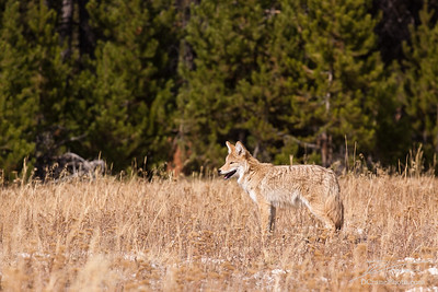 Young Coyote Searching