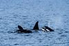 Small pod of orcas off the coast of Seward, Alaska
