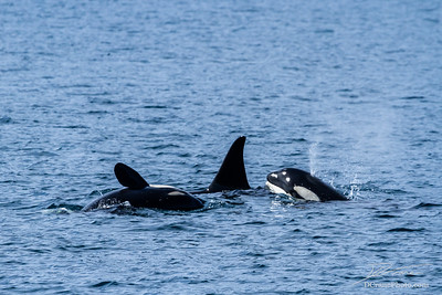 Small pod of orcas off the coast of Seward, Alaska
