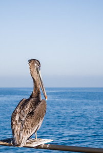 Pelican sitting atop a perch on a railing near the ocean in California