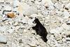 Black bear cub among granite boulders