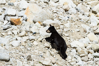 Black bear cub among granite boulders
