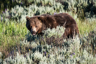Grizzly Bear in Sage Brush