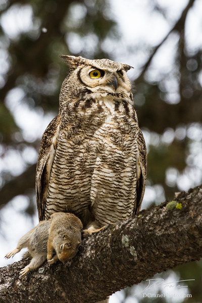 Young great horned owl with ground squirrel