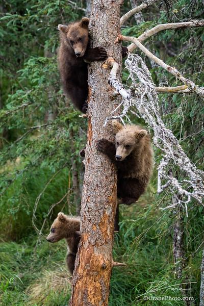 Three bear cubs in a tree