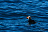 Tufted Puffin with fish in its beak