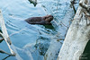 Beaver in river in Washington