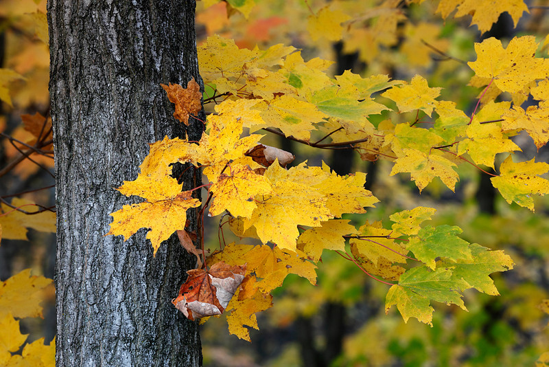 Maples in Fall (Kettle Moraine State Forest - Northern Unit)